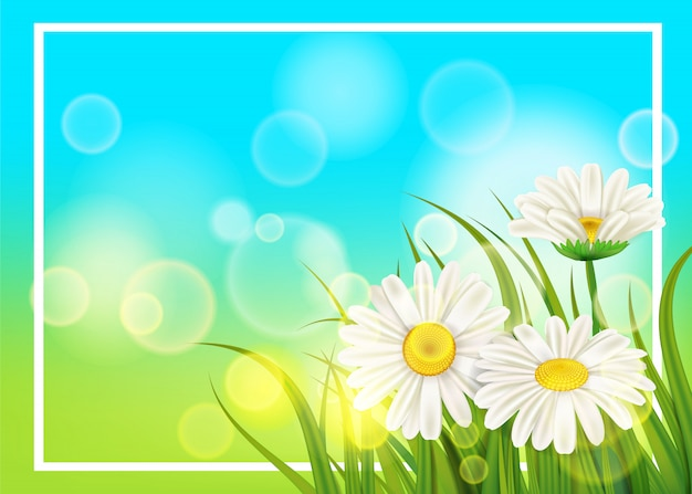 Frühlingsblumengänseblümchen saftig, kamille