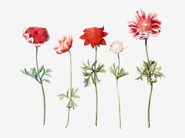 Fünf anemonenstudien eines anonymen künstlers
