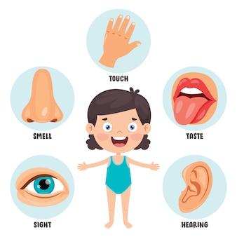 Fünf-sinne-konzept mit menschlichen organen für kinder