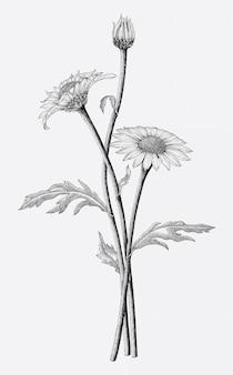 Gänseblümchen blüht hand, die weinlesestilisolat auf weißem hintergrund zeichnet
