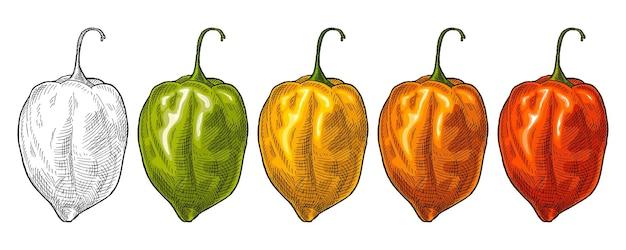 Ganze rote, grüne, orange, gelbe paprika habanero. weinlesevektor, der farbillustration schraffiert. isoliert auf weißem hintergrund. handgezeichnetes design