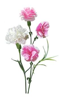 Gartennelkenblume getrennt auf weiß