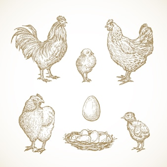 Geflügelvogelskizzen setzen handgezeichnete illustrationen von hahnhühnerküken und -eiern in einem nest