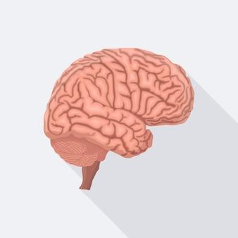Gehirn. menschliches inneres organ