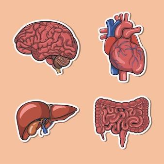 Gehirn und andere innere organe des menschen