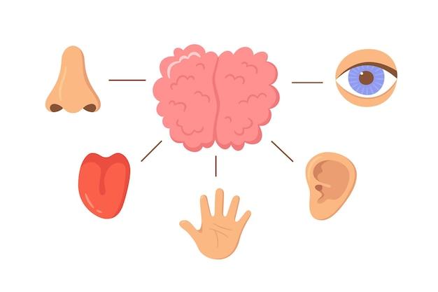 Gehirn und menschliche sinnesorgane. nase, ohr, hand, zunge, auge. sinnesorganen. sehen, hören, fühlen, riechen und schmecken. elemente für ein pädagogisches handbuch. vecor-illustrationen isoliert auf weißem hintergrund.
