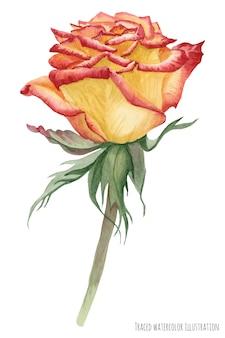 Gelbe karibische rose