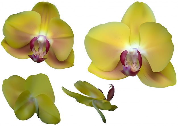 Gelbe orchideenblumen lokalisiert auf weiß