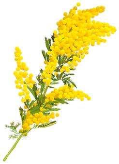 Gelber mimosenblumenzweig isoliert