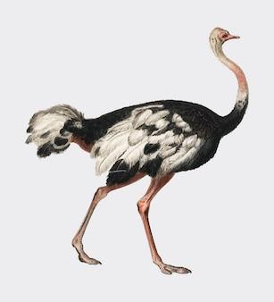 Gemeiner strauß (struthio camelus) illustriert