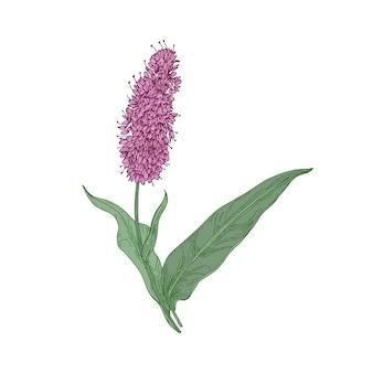 Gemeinsame oder europäische bistortblumen und -blätter lokalisiert auf weiß