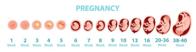 Genese des menschlichen embryos nach wochen. vektorkarikaturillustration.