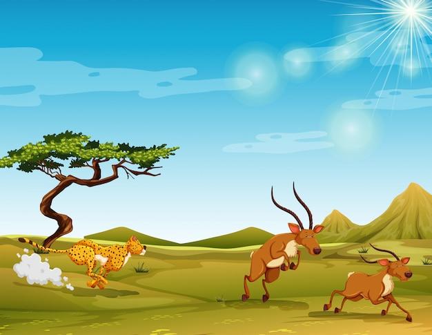 Gepard, der rotwild in der savanne jagt