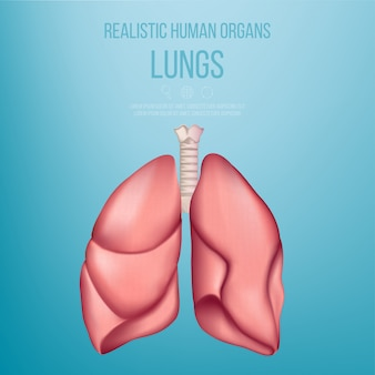 Gesunde menschliche lunge. anatomisches modell menschlicher organe. realistisch