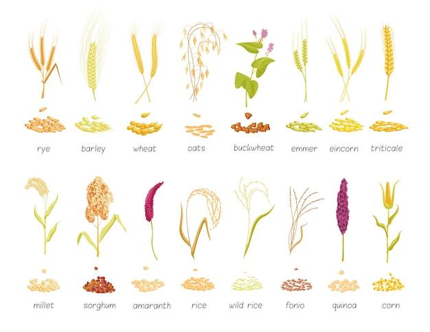 Getreidepflanzen und samen landwirtschaftliche nutzpflanzen isolierter satz. große sammlung botanischer farmgräser weizen, roggen, hafer, hirse, gerste, mais, reisanbauvektorillustration einzeln auf weißem hintergrund