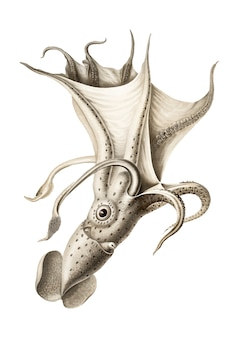 Gewölbter tintenfisch