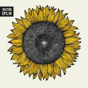 Gezeichnete illustration des sonnenblumenvektors hand. kann für bio- und naturprodukte, restaurants und cafés verwendet werden. vintage-stil.