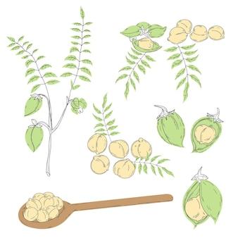 Gezeichnete kichererbsenbohnen und pflanze