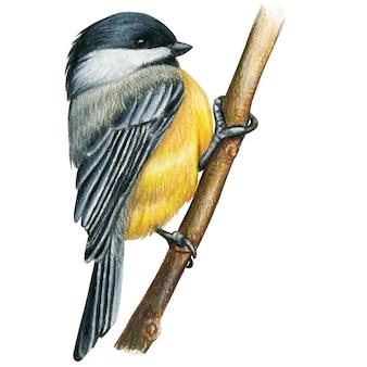 Gezeichneter aquarellbleistiftvogel des chickadee hand