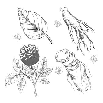 Ginseng pflanzensammlung zeichnen konzept