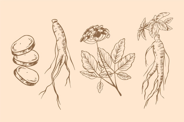 Ginseng pflanzensammlung zeichnen thema