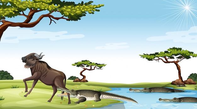 Gnus, die von krokodilen im savannenhintergrund gefressen werden