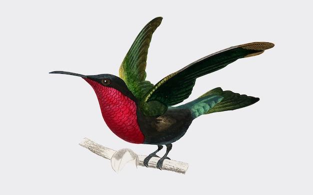 Granat-throated kolibri