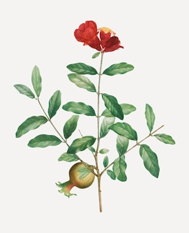 Granatapfelbaumast