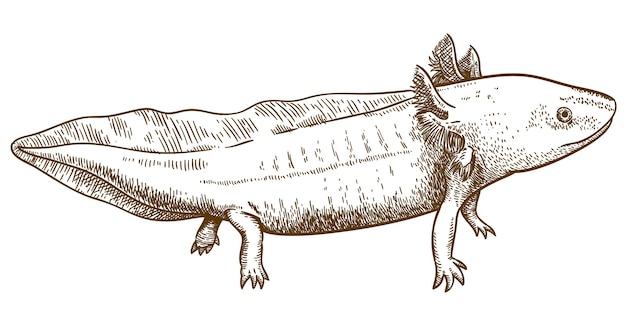 Gravieren der antiken illustration des axolotl-salamanders