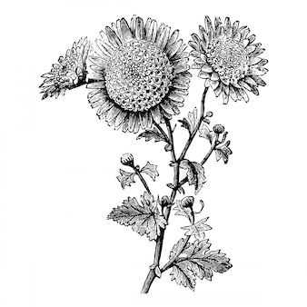 Gravieren sie kleine anemone geblühte pompone-chrysantheme-weinlese-illustrationen