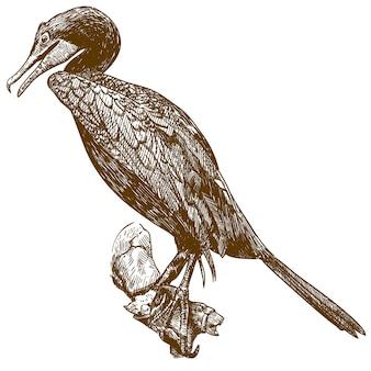 Gravurzeichnung illustration des kormorans