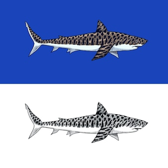 Großer tigerhai marine raubtier requiem tier leben im meer handgezeichnete vintage gravierte skizze ozean