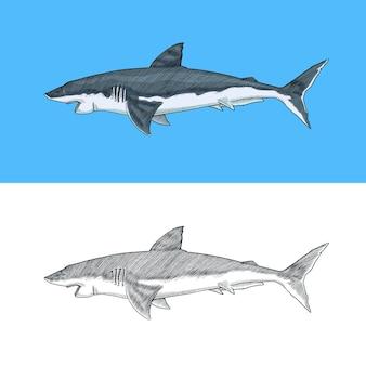Großer weißer hai oder makrelenhai marine raubtier leben im meer handgezeichnete vintage graviert