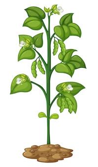 Grüne erbse an der pflanze