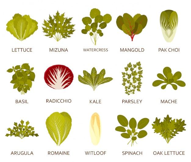 Grüne salatpflanzen auf dem weißen hintergrund. illustration.