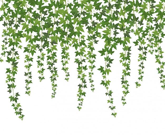 Grüner efeu. kletterpflanze der kriechpflanzenwand hängend