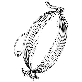 Gurkengemüse skizzieren vektorillustration. gravierter stil. produkt auf dem agrarmarkt. die beste lage für design-menüs, etiketten, abzeichen, banner und werbung.