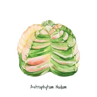 Hand gezeichnet astrophytum nudum bischof kappe kaktus