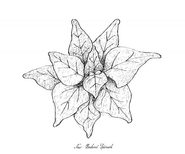 Hand gezeichnet vom neuseeland-spinat auf weißem hintergrund