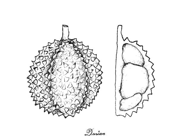 Hand gezeichnet vom reifen durian