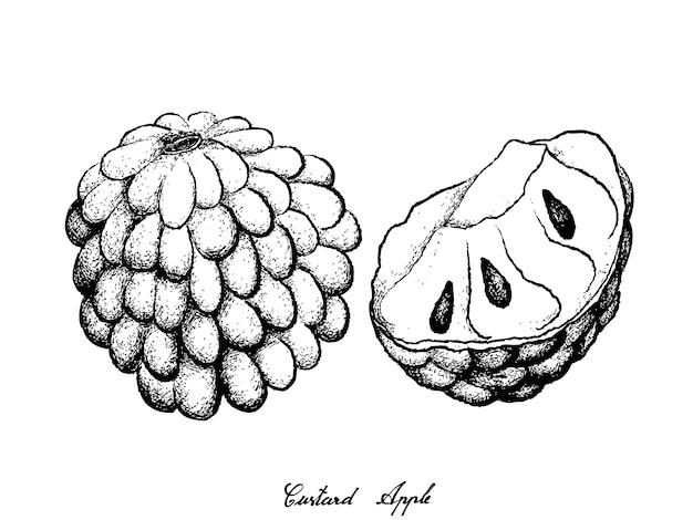 Hand gezeichnet vom reifen vanillepudding apple