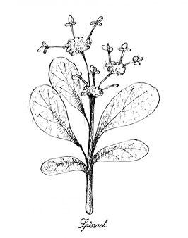 Hand gezeichnet vom spinat auf weißem hintergrund