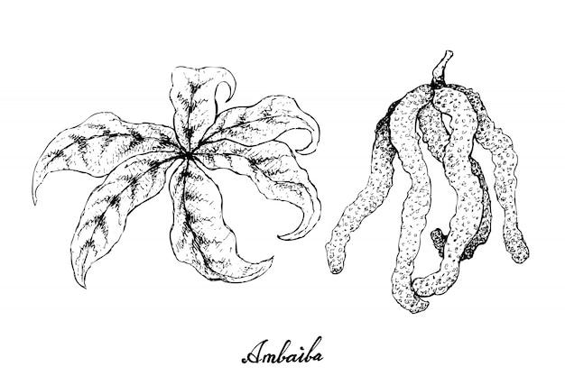 Hand gezeichnet von ambaiba-früchten