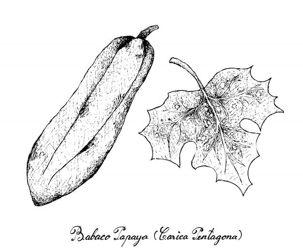 Hand gezeichnet von babaco papaya