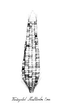 Hand gezeichnet von buntem mais oder mehrfarbigem mais