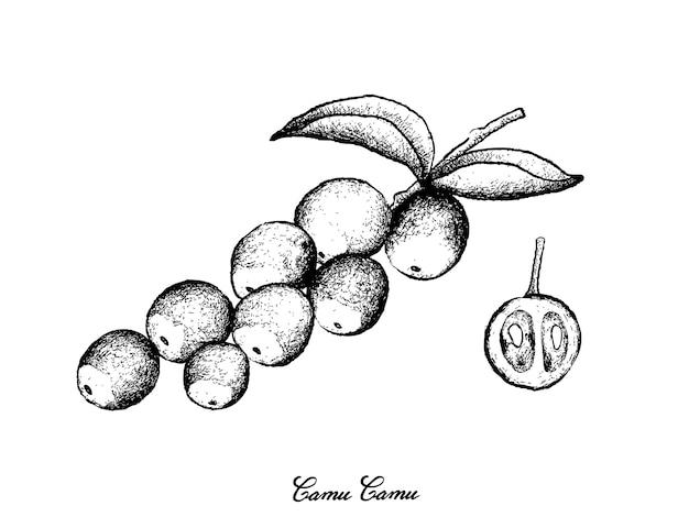 Hand gezeichnet von camu camu-früchten