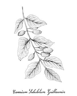 Hand gezeichnet von canarium subulatum guillaumin