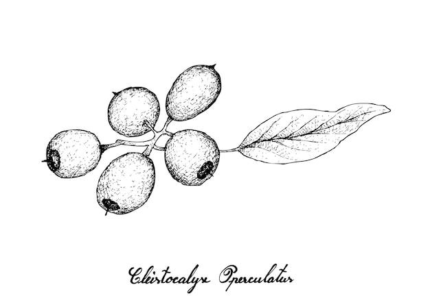 Hand gezeichnet von cleistocalyx operculatus-früchten