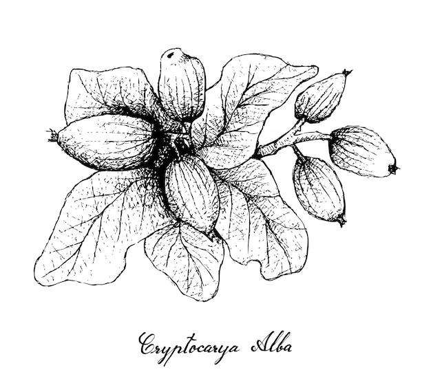 Hand gezeichnet von cryptocarya alba fruits auf weißem hintergrund