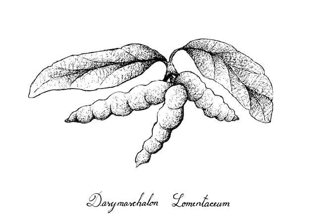 Hand gezeichnet von dasymaschalon lomentaceum-früchten auf baum-bündel